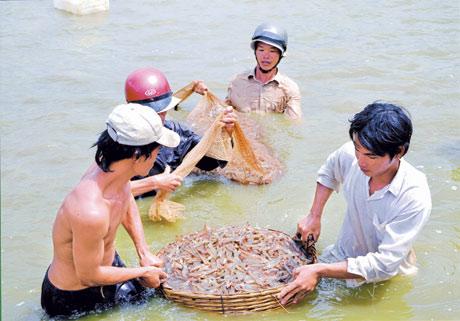 Thu hoạch tôm - xã Tân Phú Đông. Ảnh: Nhất An