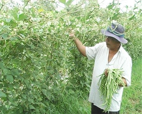 Ông Tôn Văn Bao đang thu hoạch đậu bún.