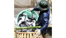 Tái cấu trúc quy trình sản xuất - từ góc nhìn con cá tra theo chuỗi chăn nuôi đến chế biến xuất khẩu. Ảnh: N.Sự - N.Thưởng