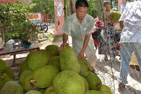 Một điểm thu mua mít Thái tại xã Cẩm Sơn (huyện Cai Lậy). Ảnh: Vân Anh