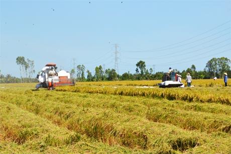 Xây dựng cánh đồng mẫu lớn đang là yêu cầu tất yếu để giúp nông dân làm giàu. Ảnh: Vân Anh