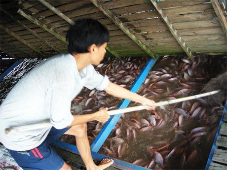 Giá cá điêu hồng liên tục tuột giảm khiến người nuôi lo lắng (Ảnh chụp ở phường Tân Long, TP. Mỹ Tho).