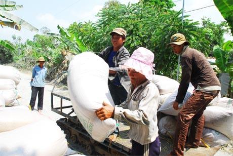 Công ty lương thực đẩy nhanh tiến độ thu mua lúa vào sáng ngày 13-3.