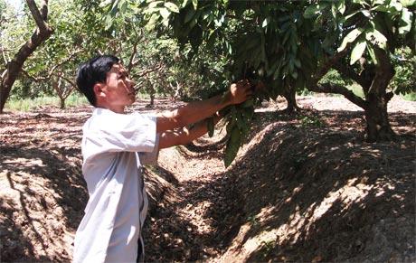 Vườn nhãn của anh Lê Hoàng Anh (ấp Bà Lắm, xã Phú Thạnh) bị khô hạn mấy tháng qua và tình hình này còn tiếp tục cho đến hết mùa khô.