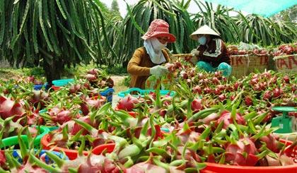 Sau nhiều nỗ lực tổ chức lại sản xuất nhưng chất lượng trái thanh long vẫn là rào cản lớn trên con đường xâm nhập vào thị trường thế giới.