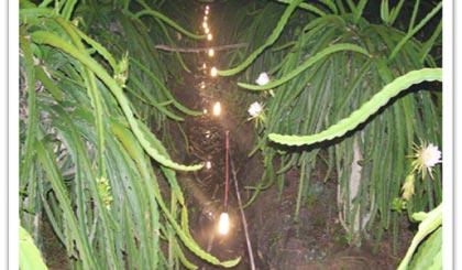 Xông Thanh long ra hoa trái vụ bằng đèn compact 20W
