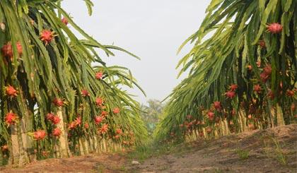 Kết quả nghiên cứu, phân tích chuỗi giá trị thanh long đang mở ra nhiều triển vọng phát triển bền vững cho loại trái cây chủ lực này của tỉnh.