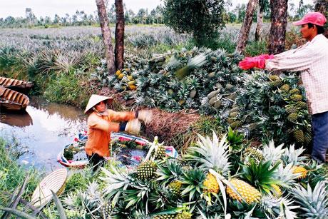 Thu hoạch khóm trên vùng chuyên canh khóm của huyện Tân Phước.