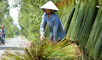 A new vitality of reed in Tan Phuoc district
