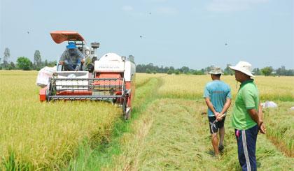 Thu hoạch lúa trong mô hình CĐL.