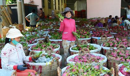 Một điểm thu mua thanh long xuất khẩu ở huyện Chợ Gạo. Ảnh: Ngọc Lan