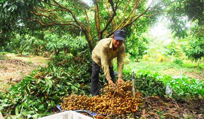 Thương lái thu mua nhãn của nông dân tại xã Tân Phong, huyện Cai Lậy.