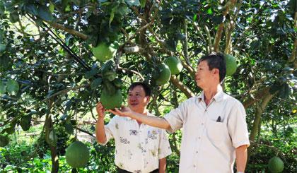 Ông Hùng chia sẻ kinh nghiệm trồng bưởi với nông dân trong vùng.