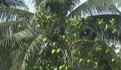 The model of aernate planting tangerine with coconut gets high economic effect