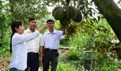 Nhờ áp dụng khoa học - kỹ thuật, phòng bệnh hiệu quả, cây sầu riêng đang cho năng suất cao, giúp tăng thu nhập cho nhiều hộ dân trên địa bàn xã Long Tiên