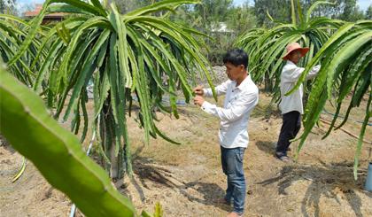 Cây thanh long đang phát triển mạnh ở  huyện Gò Công Tây. Ảnh: Ngô Tông