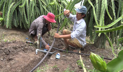 Cho Gao farmers apply the drip irrigation system in planting dragon fruit
