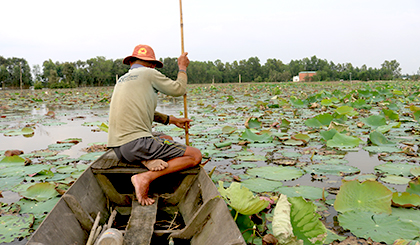 Growing lotus in the floating water season for good income
