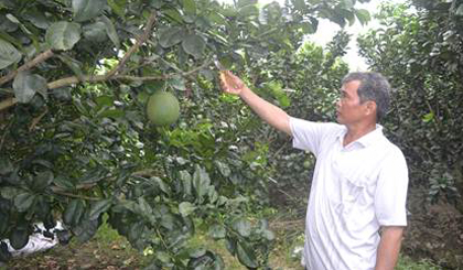 Vườn bưởi da xanh của anh Trương Quốc Ngưu luôn đạt năng suất cao.