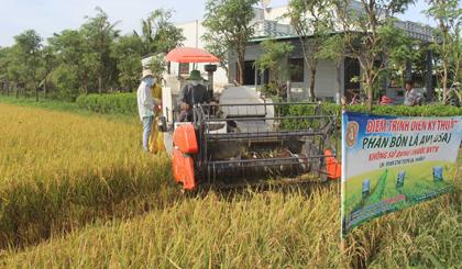 Thu hoạch lúa không sử dụng thuốc BVTV.