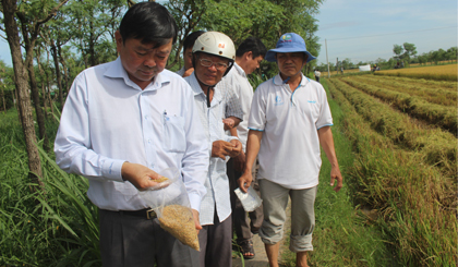 Lúa không sử dụng thuốc BVTV được bán với cao hơn.