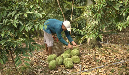 Outseasonable durian fetches high yield