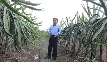 Hơn 1 công đất trồng thanh long của anh Nguyễn Hữu Phúc bước đầu  mang lại hiệu quả cao.