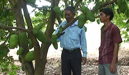 Mô hình trồng mãng cầu Xiêm đạt hiệu quả kinh tế cao tại ấp Gảnh.