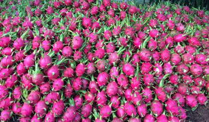 Tien Giang develops dragon fruit in the direction of quality