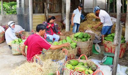 Đầu ra khá ổn định, trái mãng cầu Xiêm dần khẳng định hiệu quả kinh tế trên vùng đất cù lao.