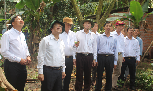 Provincial leaders survey the star apple area in Chau Thanh district