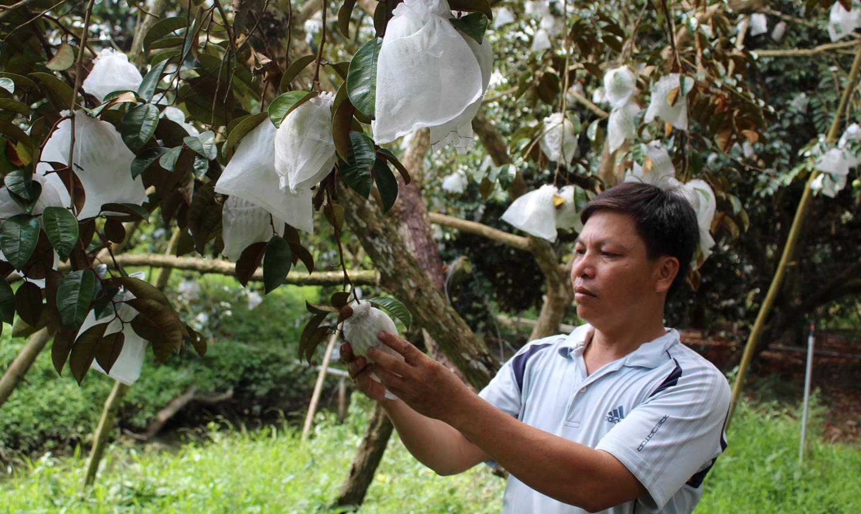 Nông dân trồng vú sữa ở huyện Cái Bè bao trái để đạt tiêu chuẩn xuất khẩu.