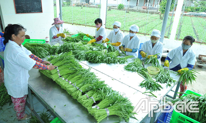 Để nâng cao giá trị nông sản thông qua chuỗi liên kết thì vai trò của HTX nông nghiệp rất quan trọng.  (Trong ảnh: Sơ chế rau ở HTX Rau an toàn Gò Công).      Ảnh: CAO LẬP ĐỨC