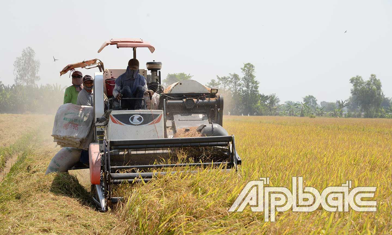 Nông dân xã Hậu Mỹ Trinh (huyện Cái Bè) tích cực thu hoạch lúa đông xuân 2019 - 2020.