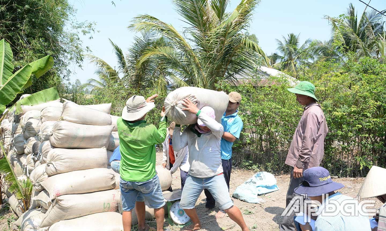 Nông dân xã Hậu Mỹ Trinh (huyện Cái Bè) bán lúa cho thương lái tại bờ ruộng.